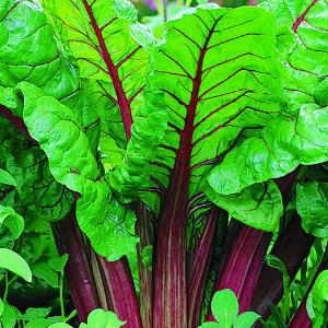 rhubarb-main-m-m